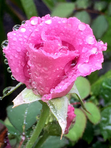 Shining Through The Rain- Lessons From My Garden