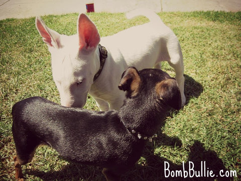BombBullie Puppy Socialization Blog Pic 2
