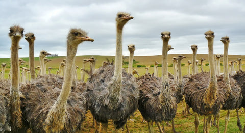 OstrichLand USA is a Must Trip for RV Trips in California