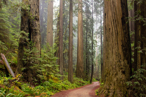 RV Travel - Explore the Red Woods in California