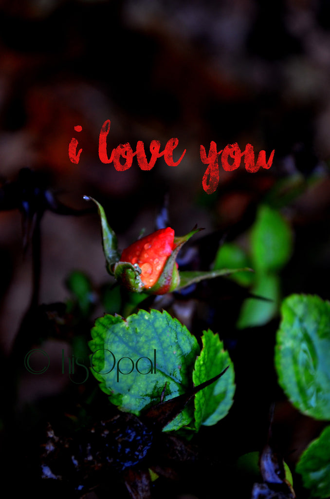 digital download nature photography: rosebud 4 Typography Photo, Love Home Decor,rosebud, red home decor, red rose photo, Valentine's Day - hisOpal Swimwear - 1