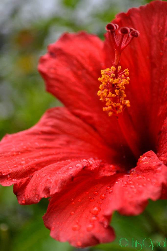 digital download nature photography: red flower in the rain - hisOpal Swimwear