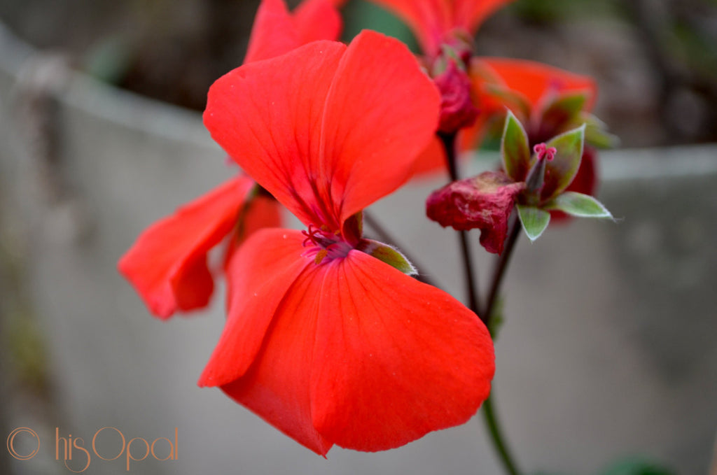 digital download nature photography: red flower - hisOpal Swimwear