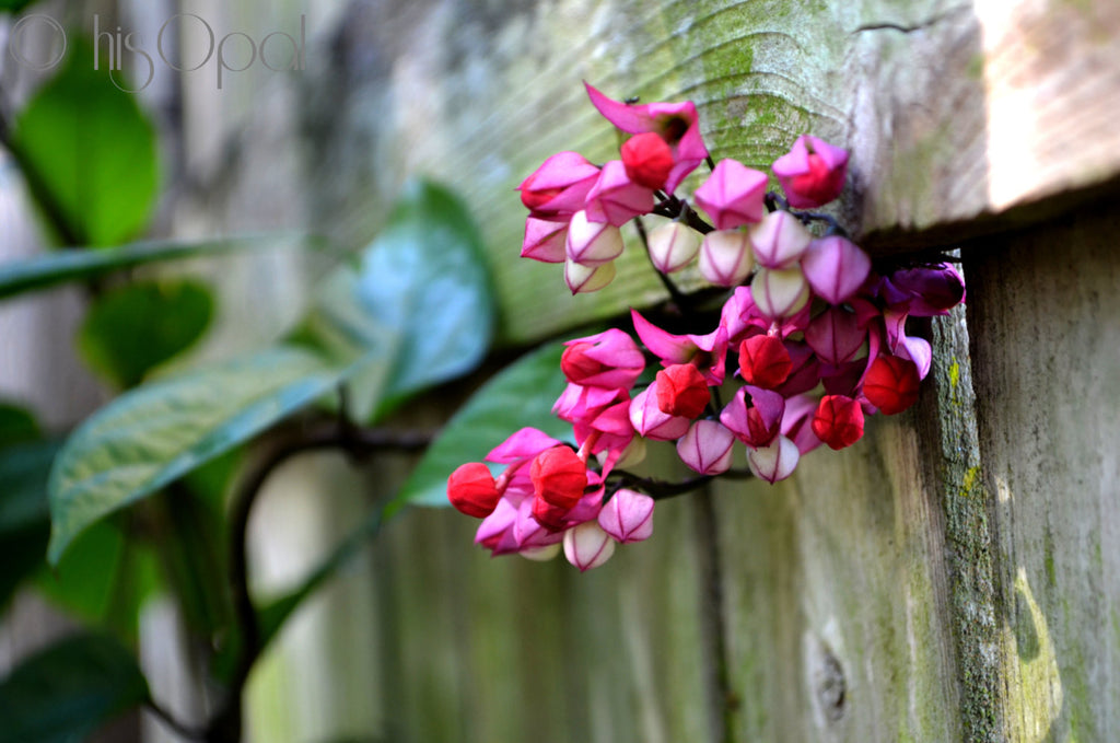 digital download nature photography: ombre buds on the fence - hisOpal Swimwear