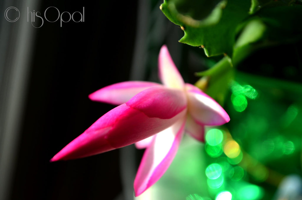 digital download nature photography: Christmas cactus 1 - hisOpal Swimwear