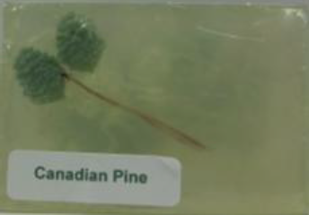 Canadian Pine Soap
