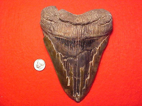 MASSIVE 6. 1/8 INCH Fossil Prehistoric Great White Shark Tooth CARCHARODON MEGALODON, #1462 Sharks Teeth