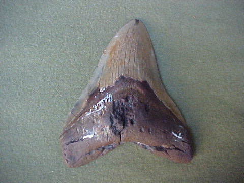 5.5 INCH Fossil Prehistoric Great White Shark Tooth CARCHARODON MEGALODON, #359 Sharks Teeth