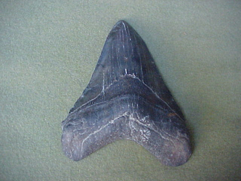Massive 5.75 Fossil Prehistoric Shark Tooth, #414 Sharks Teeth