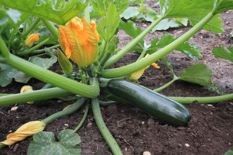 De Bolster Courgette Black Beauty