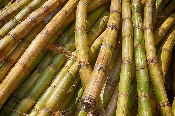 Harvested sugar canes
