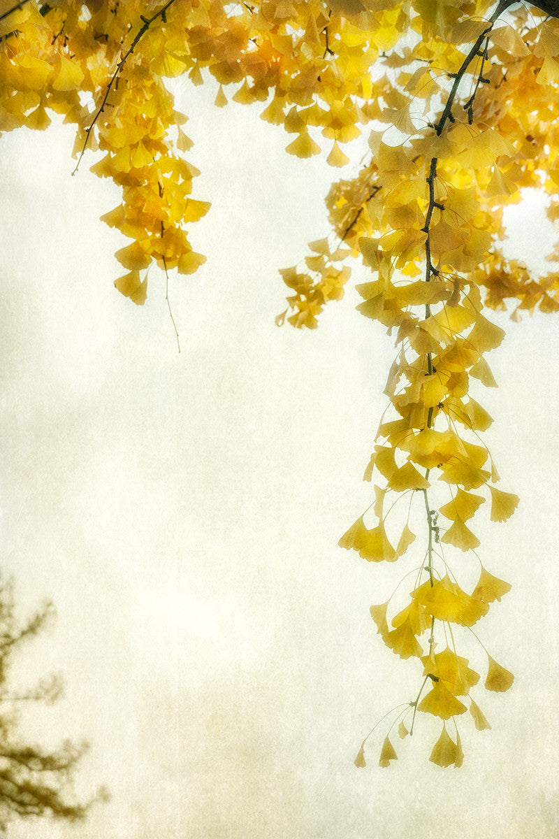 Ginkgo II / 36 x 24 / photography