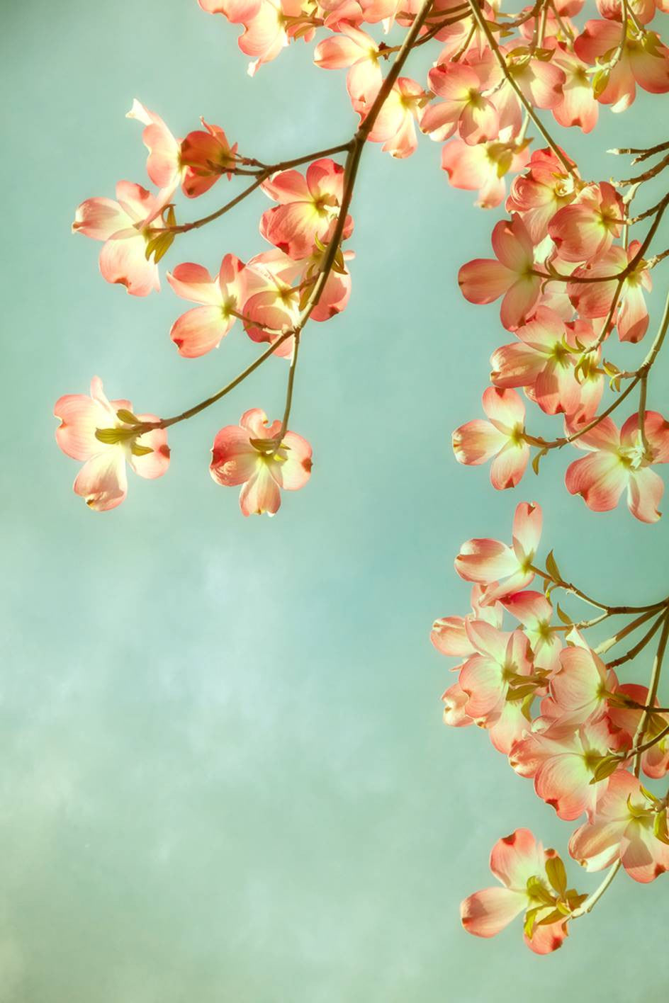Spring Dogwood III / 36 x 24 / photography