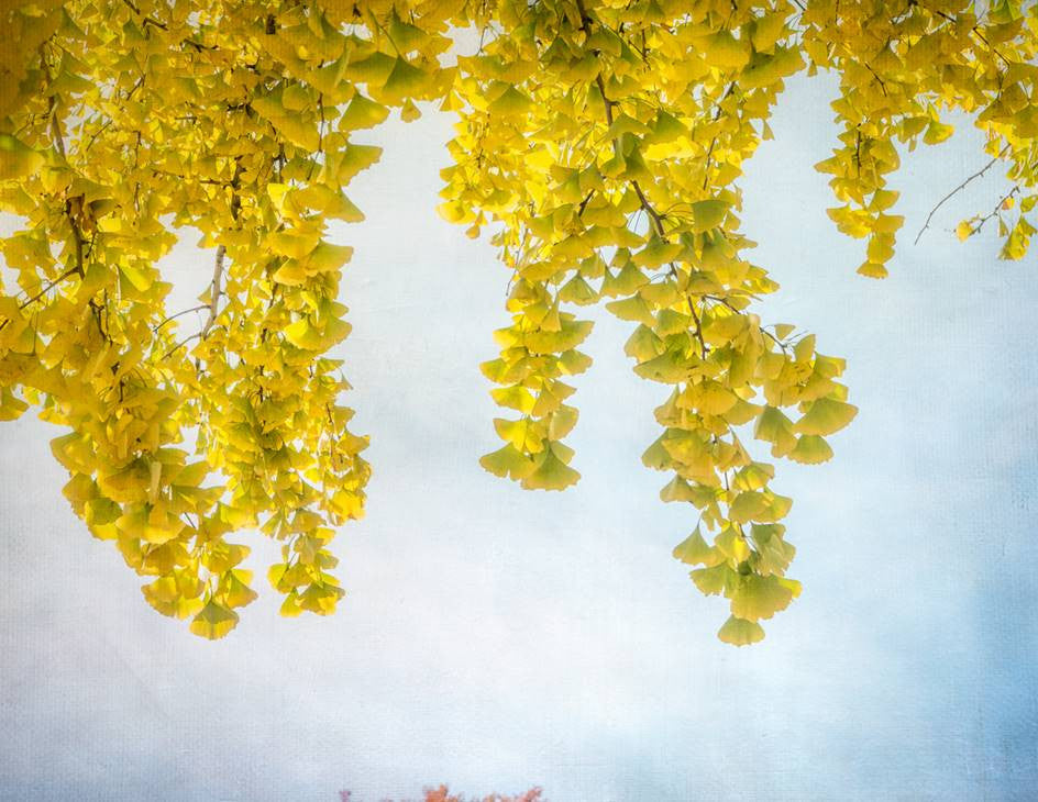 Yellow Ginkgo / 24 x 30 / photography