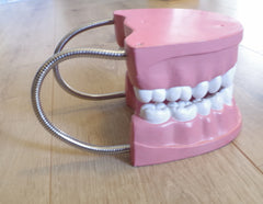 Large Dentist Tooth Model