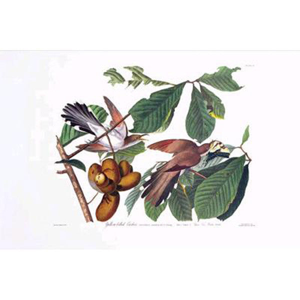 Yellow-Billed Cuckoo Princeton Print