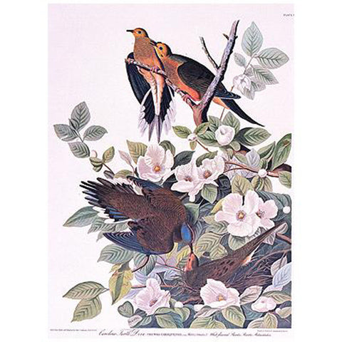 Carolina Turtle Dove Princeton Print