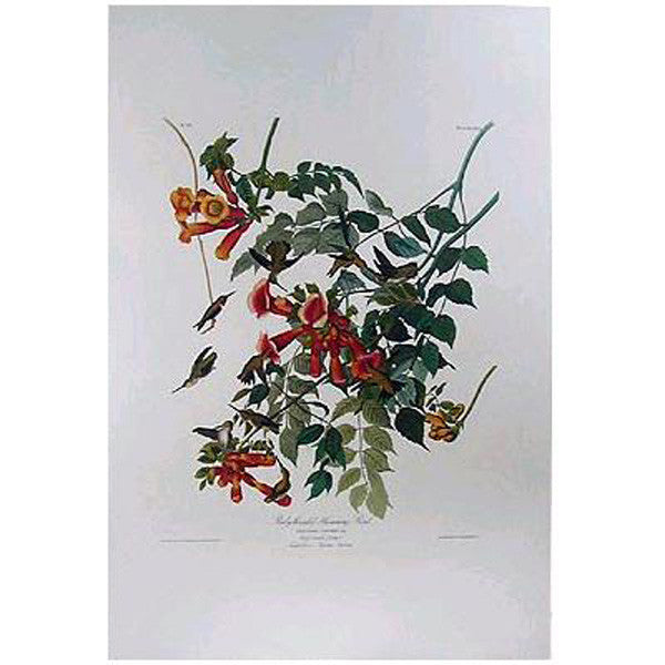 Ruby-Throated Hummingbird Princeton Print