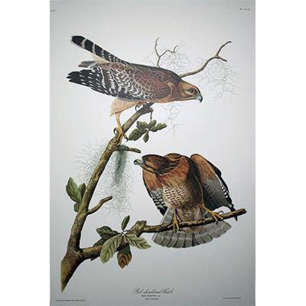 Red-Shouldered Hawk Princeton Print