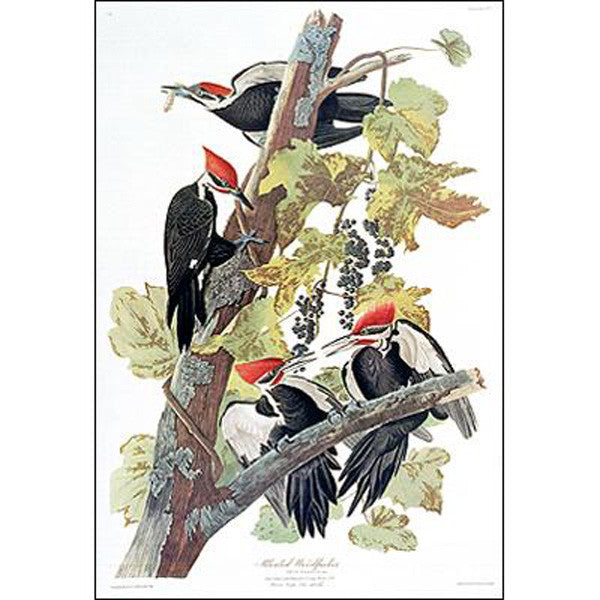 Pileated Woodpecker Princeton Print