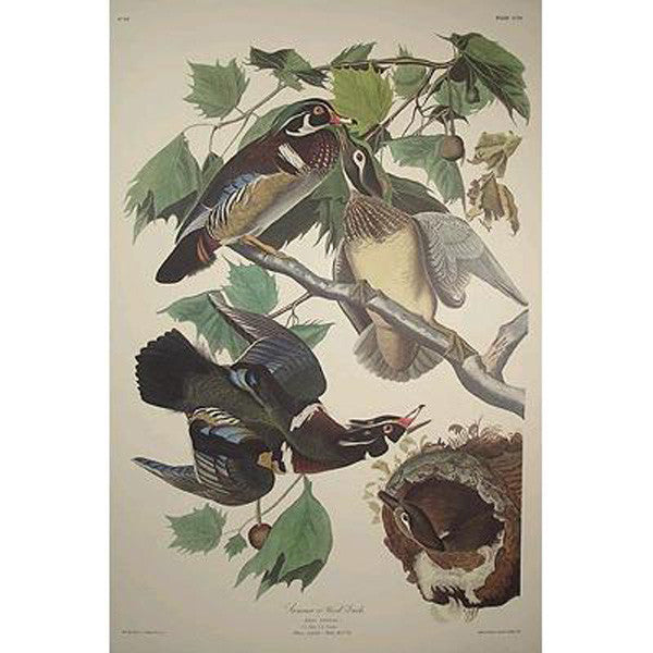 Summer or Wood Duck Princeton Print
