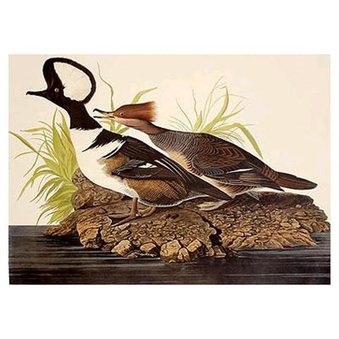 Hooded Merganser Princeton Print