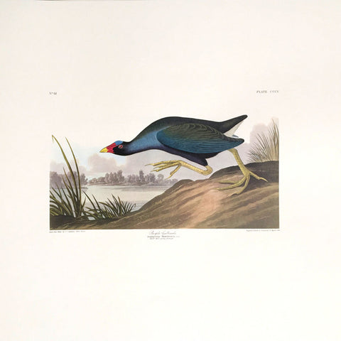 Purple Gallinule Princeton Print