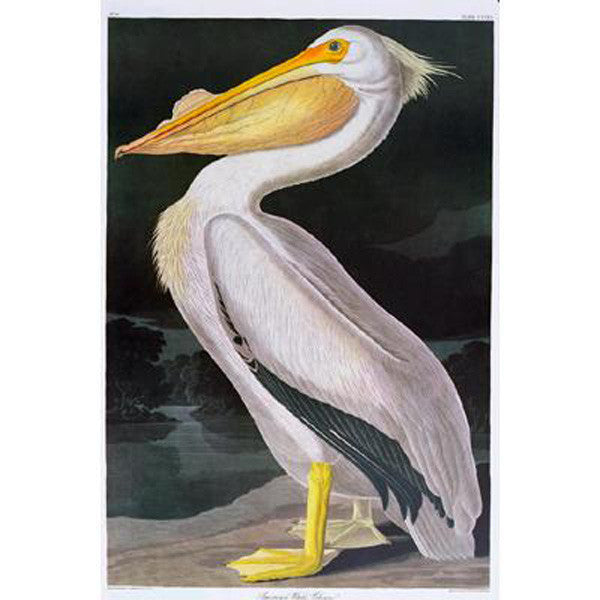 American White Pelican Princeton Print - New-York Historical Society Museum Store