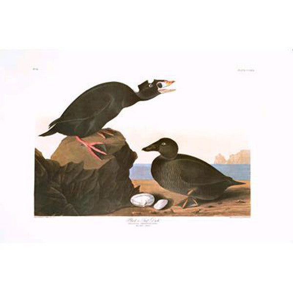 Black or Surf Duck Princeton Print - New-York Historical Society Museum Store