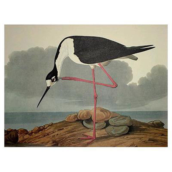Long-Legged Avocet Princeton Print