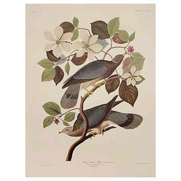 Band-Tailed Pigeon Princeton Print - New-York Historical Society Museum Store