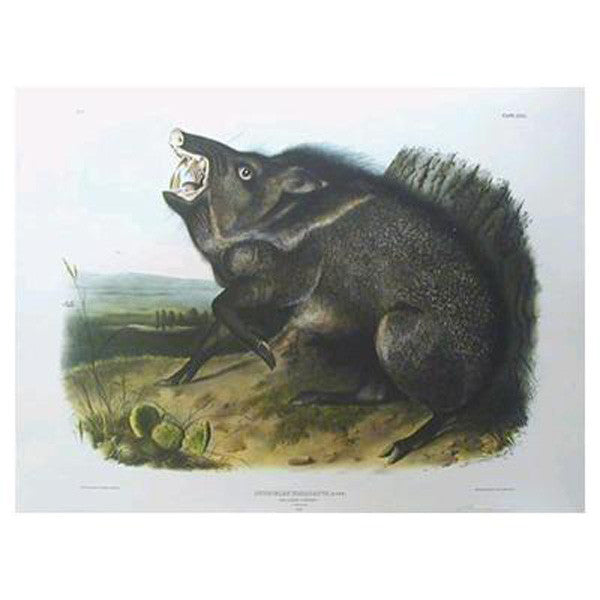 Collared Peccary Princeton Print - New-York Historical Society Museum Store