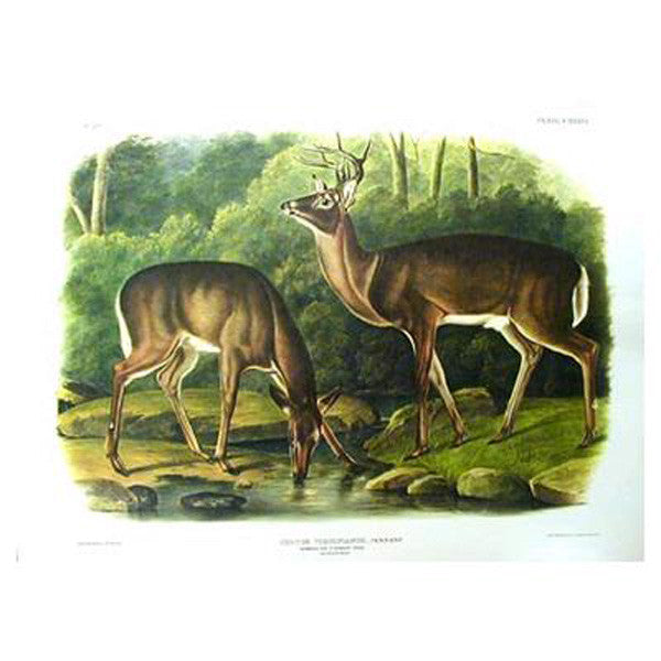 Common Virginian Deer Princeton Print