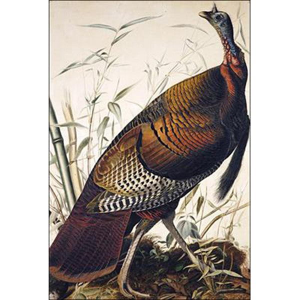 Wild Turkey, Male Oppenheimer Print