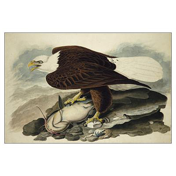 White-headed Eagle Oppenheimer Print