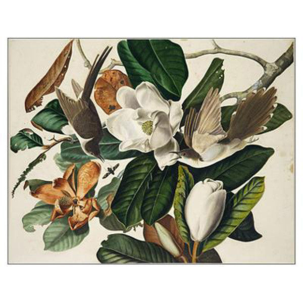 Black-billed Cuckoo Oppenheimer Print