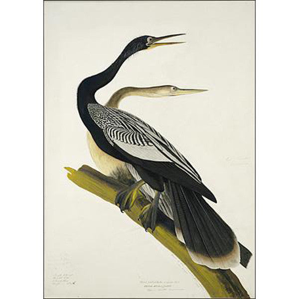 Black-bellied Darter (plate 34) Oppenheimer Print - New-York Historical Society Museum Store