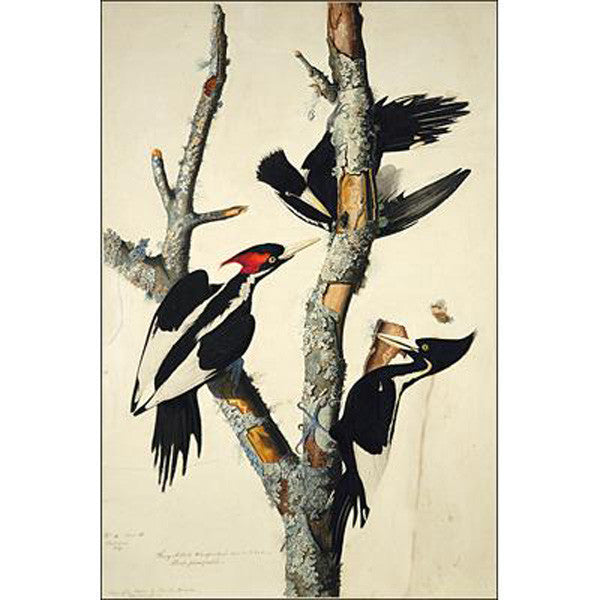 Ivory-billed Woodpecker Oppenheimer Print