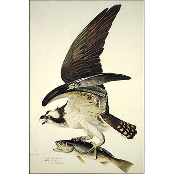 Fish Hawk or Osprey Oppenheimer Print