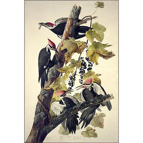 Pileated Woodpecker Oppenheimer Print