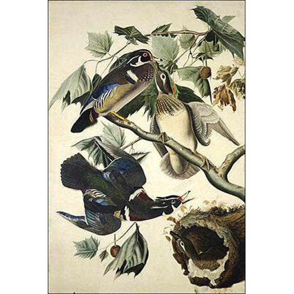 Summer or Wood Duck Oppenheimer Print