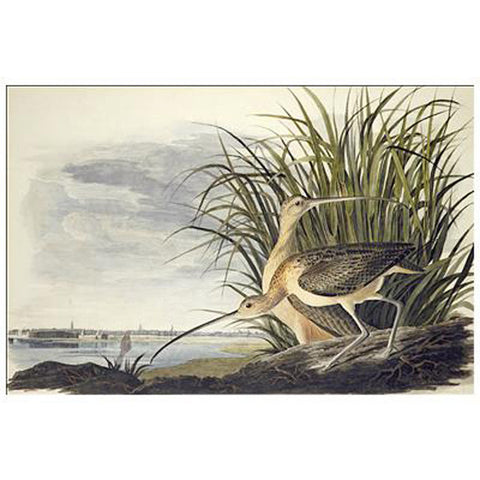 Long-billed Curlew Oppenheimer Print