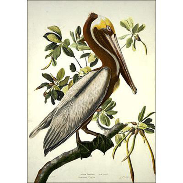 Brown Pelican, adult Oppenheimer Print - New-York Historical Society Museum Store