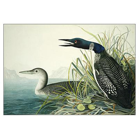 Great Northern Diver Oppenheimer Print