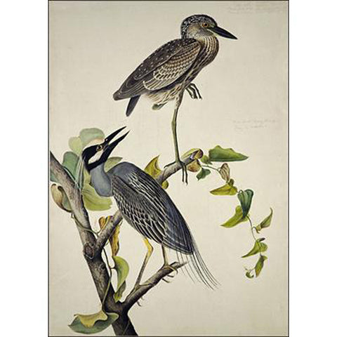 Yellow-Crowned Heron Oppenheimer Print