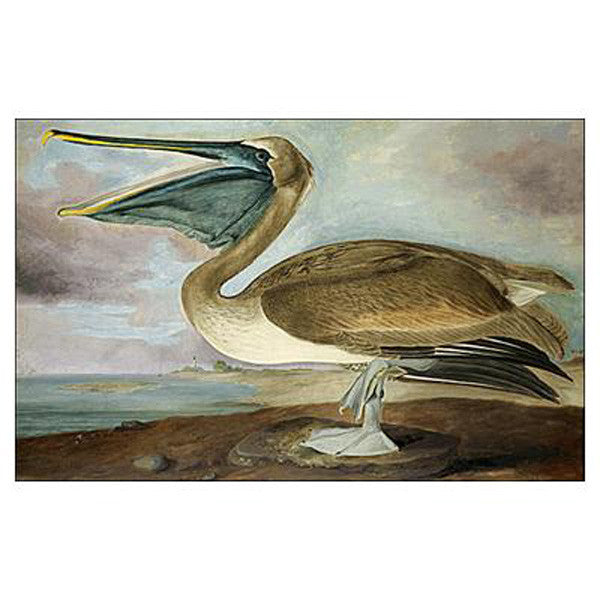 Brown Pelican, young Oppenheimer Print
