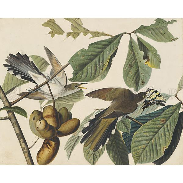 Yellow-billed Cuckoo Oppenheimer Print