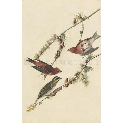 Purple Finch Oppenheimer Print