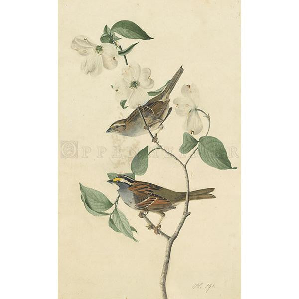 White Throated Sparrow Oppenheimer Print