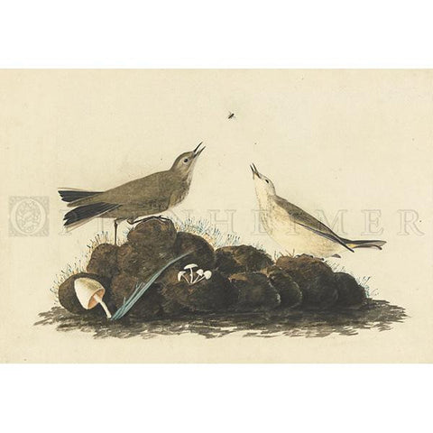 Brown Titlark Oppenheimer Print